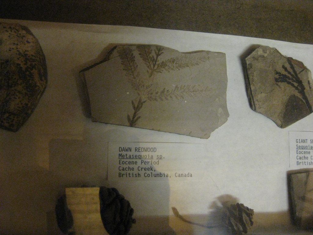 Metasequoia fossils from the Cache Creek Eocene