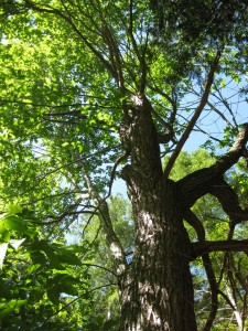 looking up into the canopy of an old chestnut