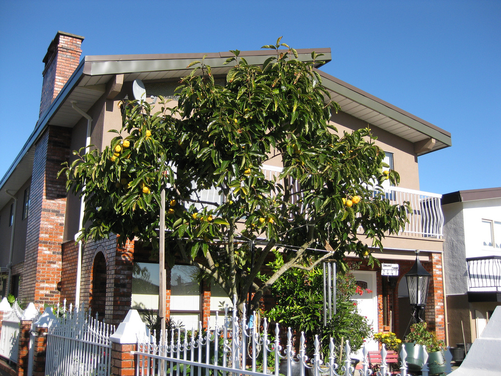 East Van persimmon tree