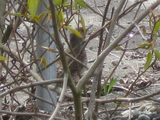 northern flicker in an abandoned industrial zone