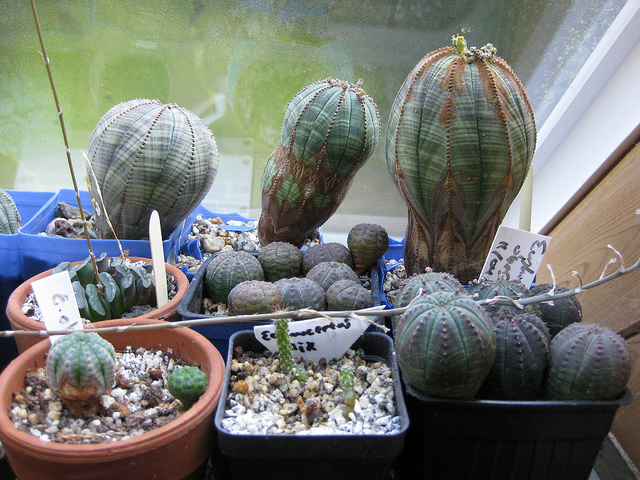 Euphorbia obesa