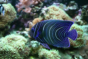 angelfish and its ever-changing stripes