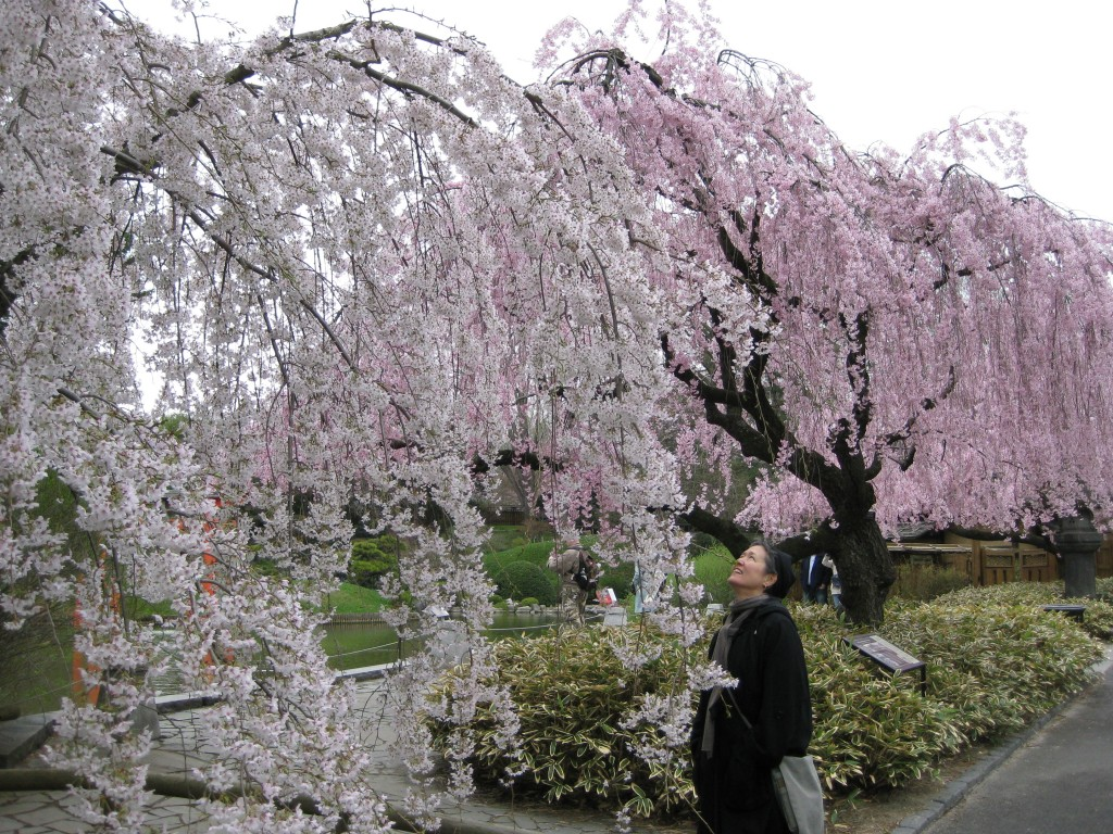 weeping cherries