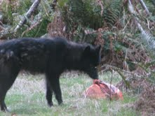 wolf investigating my neighbor's garbage