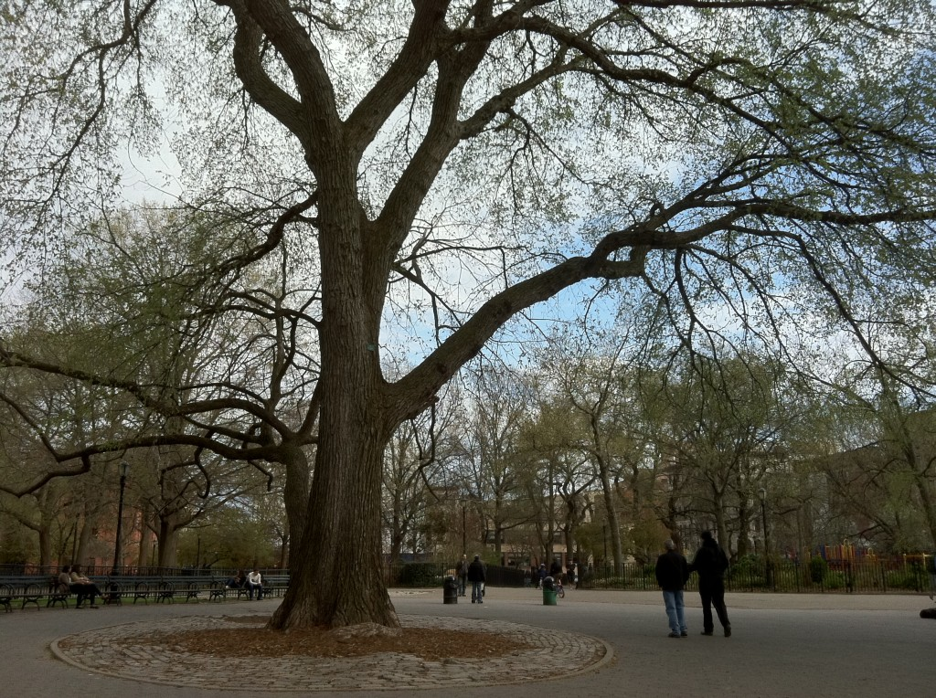 Tompkins Square American Elms