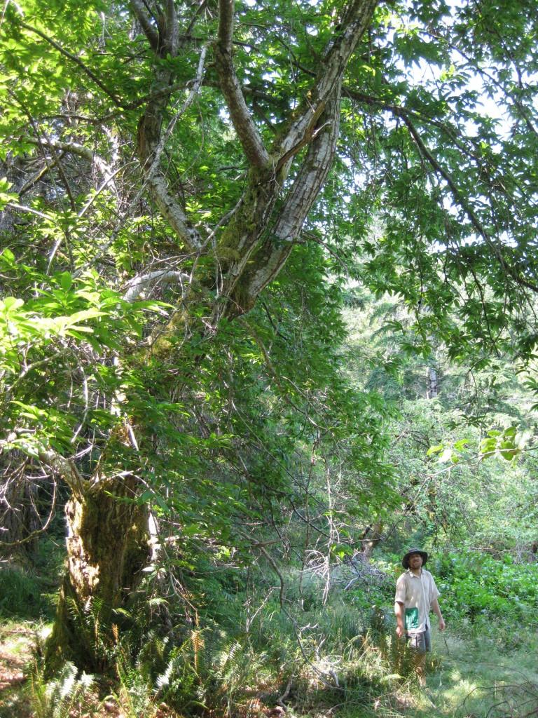 European Chestnut, Cortes Island.