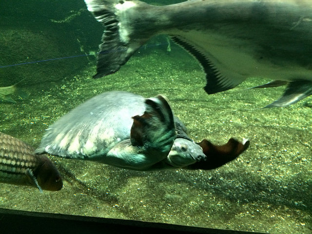 Pig-nosed turtle at Berlin Aquarium